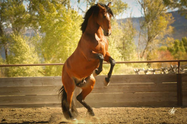 Leslie Goodyear PRE Andalusian stallion Orgulloso BV_ex