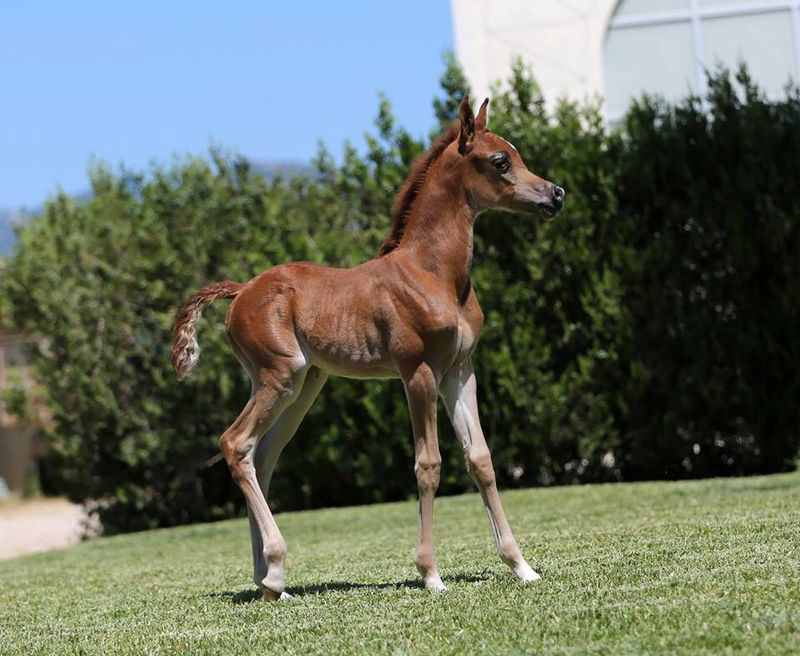 What Do You Call A Baby Horse Image.  Arabian Filly in Mallorca Spain